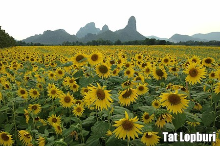 Sunflower Season has Started in Thailand