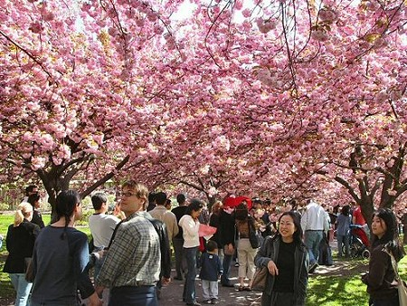 Cherry Blossom Trees coming to Chiang Rai