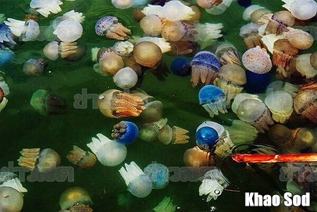 Thousands of Colourful Jellyfish Arrive in Rayong