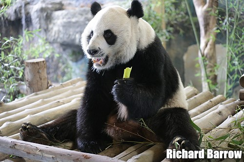 Extension of Stay for two Pandas at Chiang Mai Zoo