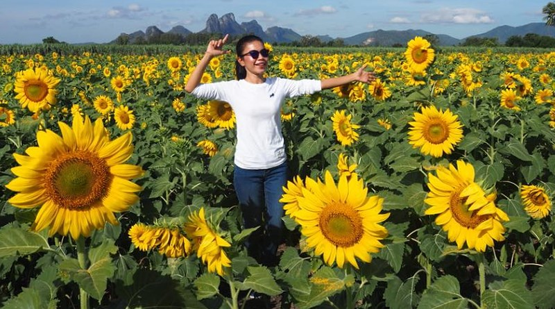 The sunflower season has started in Central Thailand