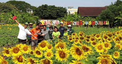 New sunflower field attraction in Bangkok during January